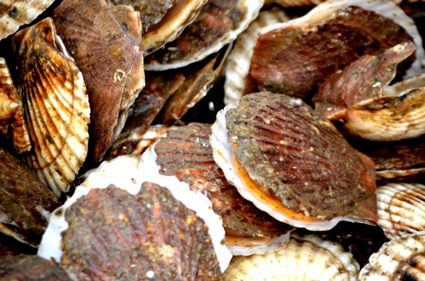 scallop-shells